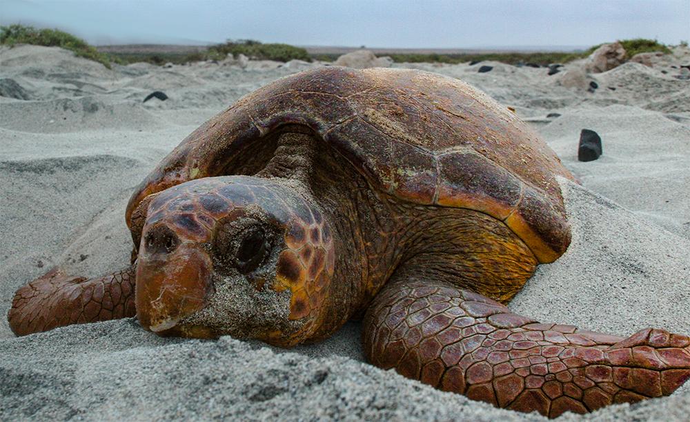 Loggerhead see turtle on the sand